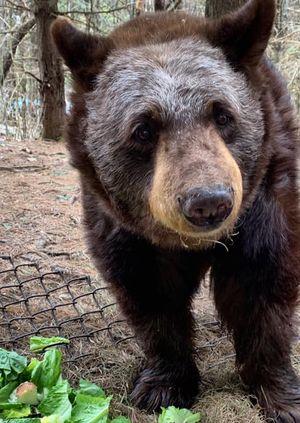 Wild Life Drawing Online: Black Bears