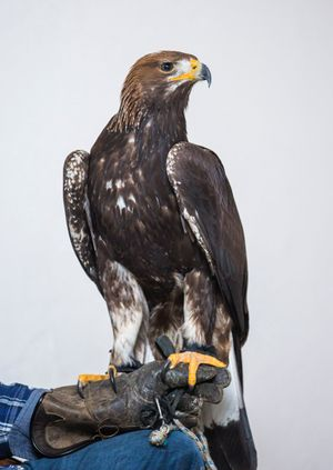 Wild Life Drawing Online: Eagles