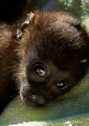 Wild Life Drawing Online: Howler Monkeys