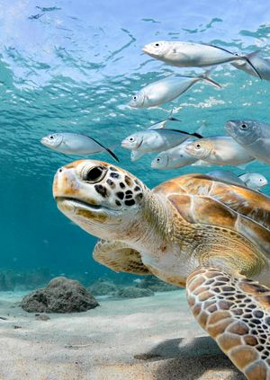 Wild Life Drawing Online: Sea Turtles