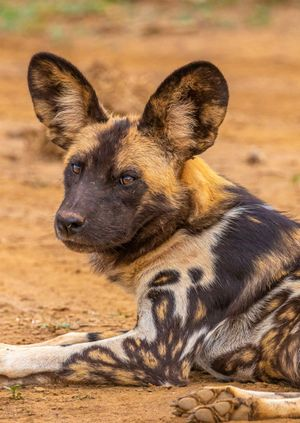 Wild Life Drawing Online: African Painted Dogs