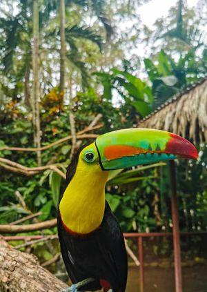 Wild Life Drawing Online: Toucans