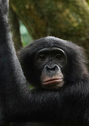 Wild Life Drawing Online: Bonobos