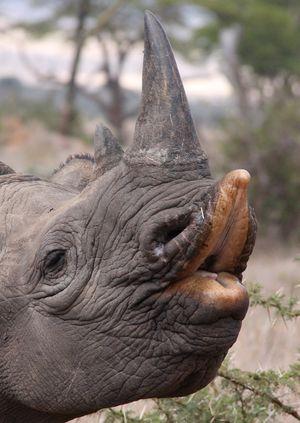 Wild Life Drawing Online: Rhinos