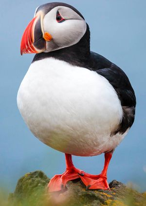 Wild Life Drawing Online: Puffins